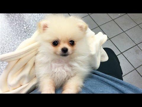 CUTEST PUPPY! | Luna The 8 Week Old Pomeranian Puppy