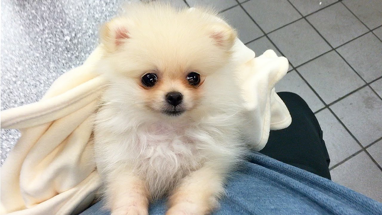 CUTEST PUPPY! | Luna The 8 Week Old Pomeranian Puppy - YouTube