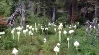 When The Bear Grass Blooms