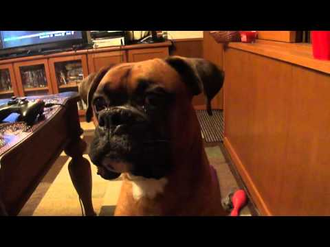 Boxer dog talking