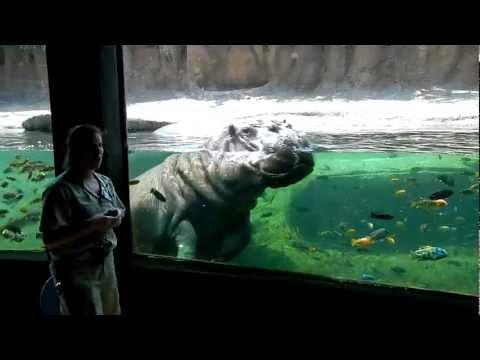 Hippo Keeper Talk at the San Antonio Zoo