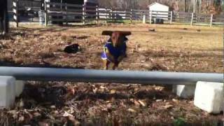 Ammo The Dachshund - Super Pony Jumper