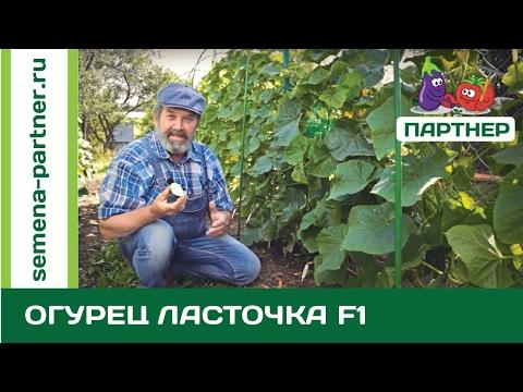 НАСТОЯЩИЙ РУССКИЙ ОГУРЕЦ ЛАСТОЧКА F1