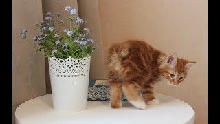 Кошки породы Курильский бобтейл. Знакомимся!