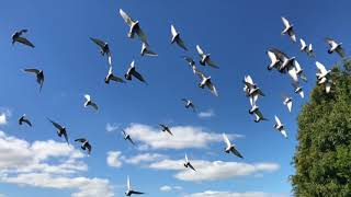 Pigeons Flock Flying Birds Flight Nature Wings No Copyright Video Clips