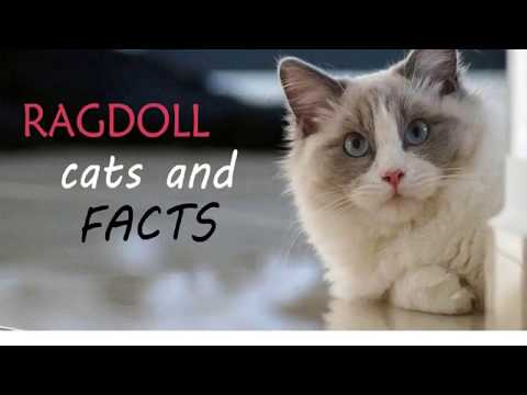 Interesting Facts About Ragdoll Cats | Dr Jennifer Creed