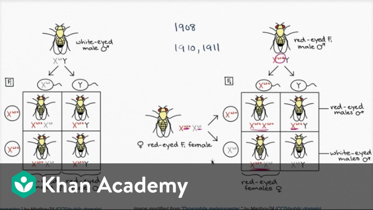 Thomas Hunt Morgan And Fruit Flies - Youtube-3058