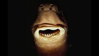 Cookie Cutter Shark - Animal of the Shark Week