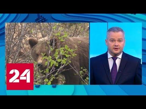 Нападают на людей: Дальний Восток и Сибирь терроризируют медведи - Россия 24