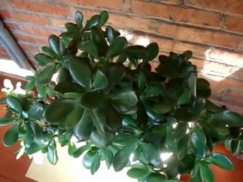 Мои комнатные цветы. Денежное дерево.Красула. Толстянка.