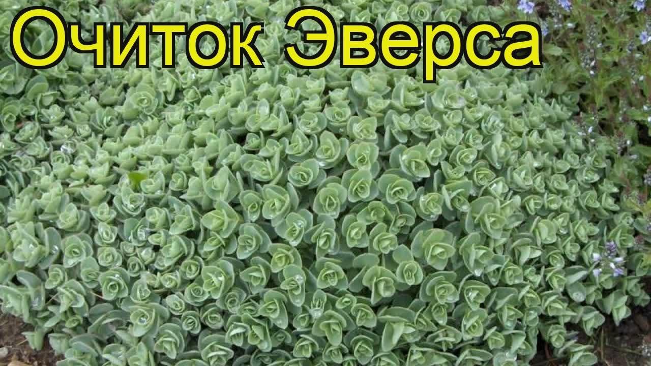 Энотера Жёлтая миссурийская - Семена и саженцы купить по лучшим .