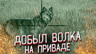 Охота на волка добыча на приваде