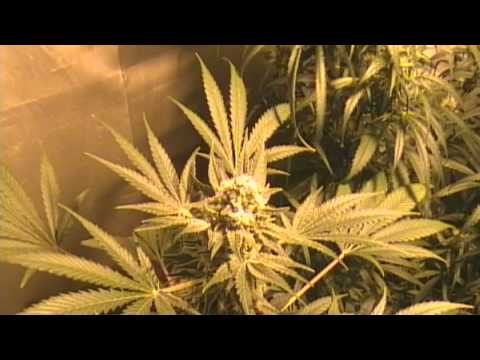 Marijuana Grow - White Widow ...from start to finish