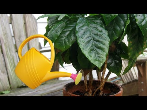 Полив кофейного дерева. Как, когда и сколько нужно поливать кофейное дерево.