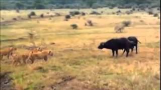世界の動物映像。 肉食動物と草食動物、野生動物同士の生存を賭けた争い。
