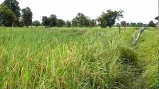 Rice Field in Pakse, Laos