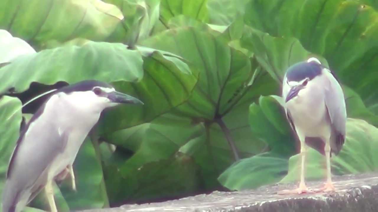 暗光鳥''..................夜鷺~ - YouTube