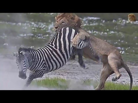 When Victims Fight Back (2016) - Boar, Zebra, Giraffe vs Lion, Leopard, Crocodile thumbnail
