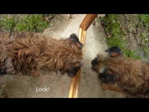 Funny Border Terrier Compilation