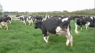 Happy Cows skipping out to grass for the first time. April 2012