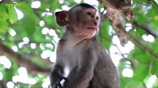Milto baby monkey crying for mother Milta loudly, monkey Milta leaves baby Milto behind baby crying