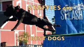 STAFFIES (Staffordshire Bull Terriers)  ARE THE BEST DOGS!