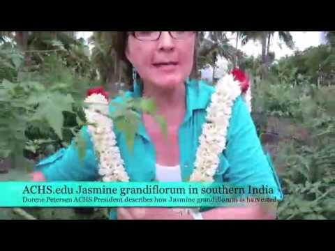 Jasmine grandiflorum budding