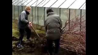 можно ли пересадить взрослый куст винограда осенью подробно каждом них