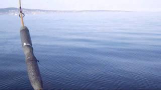 White Sea Bass fish porn from kayak Hobie AI