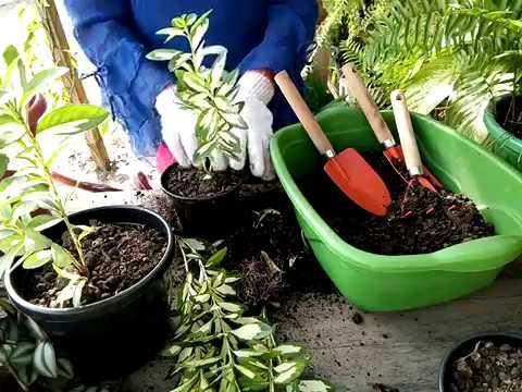 Replantando Hebe Franciscana variegata!!!