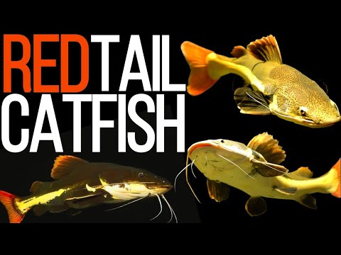 Red Tail Catfish All You Need Know