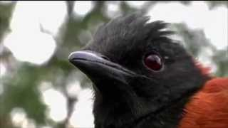видео Очень ядовитая птица: дроздовая мухоловка