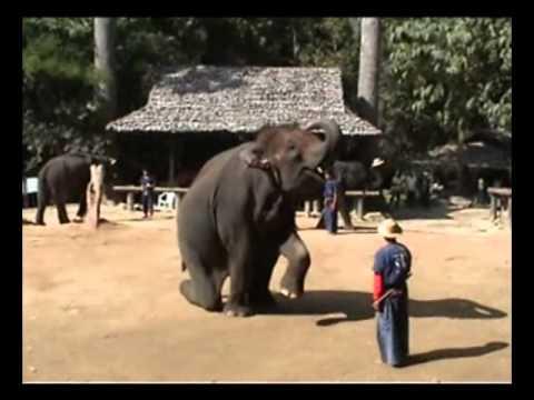 מופע פילים מדהים בתאילנד  amazing elephant show in Thailand
