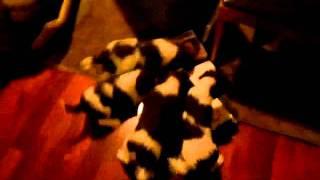 English Springer Spaniel Puppies Field Bred By Dublem Gundogs  Stella, Tom, Stanley, Alphie