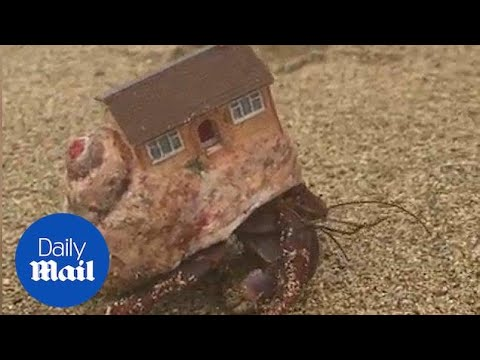 Tourists stumble across hermit crab with actual HOUSE on its back - Daily Mail