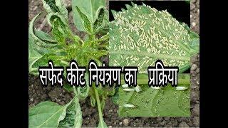 Leaf curl virus/मिर्च में पत्तियाँ सिकुड़ना/सफेद मक्खी की नियंत्रण प्रक्रिया