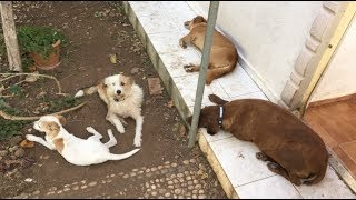Sincapları kıskanan çılgın köpekler