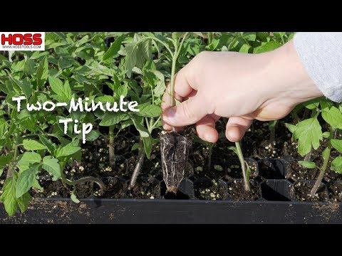 DON'T MAKE THIS MISTAKE WITH TOMATO PLANTS!