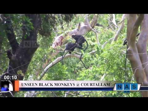 MONKEYS - A LOOK  @ COURTALLAM (HD)