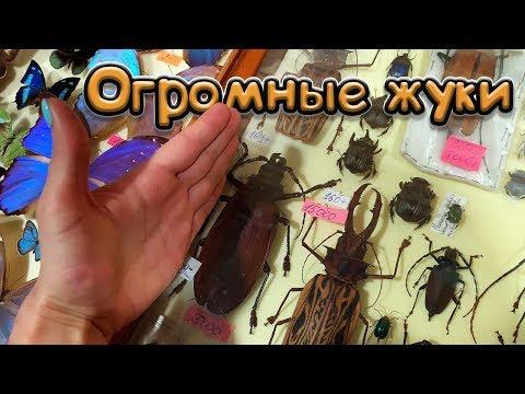 ОГРОМНЫЕ ЖУКИ И БЛЕСТЯЩИЕ БАБОЧКИ. Выставка в Москве