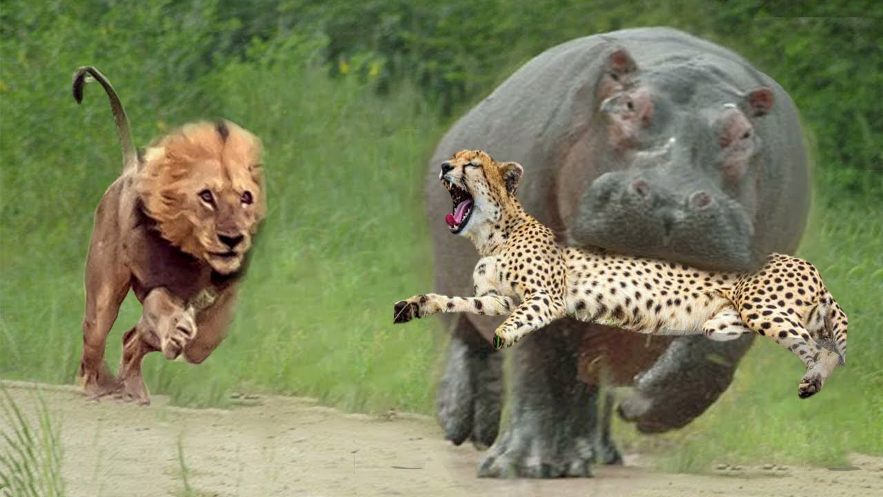 Download Lion Attack Hippo to Free Cheetah - Big Battle of Leopard vs Python - Wild Animals Fight 2021