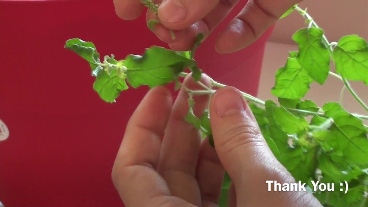 How to pluck the flowers of Tulasi