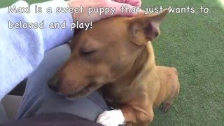 8 month Dachshund Mix Puppy Maxi Needs Rescue ASAP!