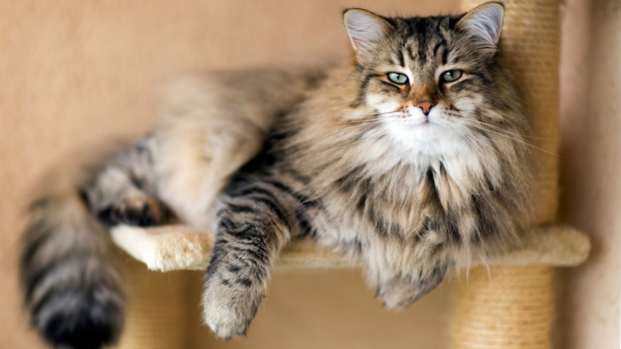 Сибирская Кошка - Породы Кошек, описание, уход - YouTube