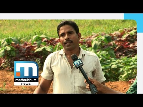 Shereef Reaps Success In Spinach Farming  Mathrubhumi News