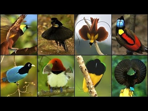 Birds-of-Paradise:courtship display (mating dance) funny - most wonderful birds species