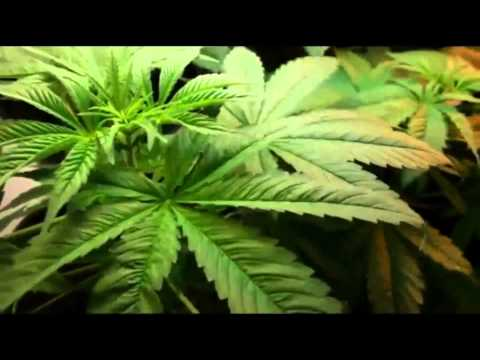 boost THC in marijuana - THC synthese music of DNA