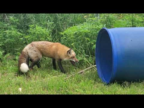 Pan the fox walks on grass for the first time!
