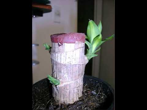 Ayuda como cuidar a planta palo de brasil youtube - Reproduccion del bambu ...