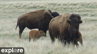 Bison Calving - Grasslands National Park powered by EXPLORE.org thumbnail